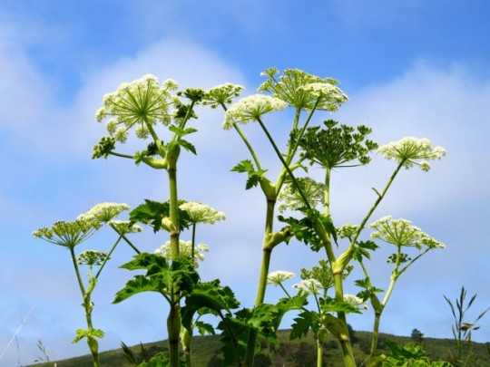 Beautiful Cow Parsnip