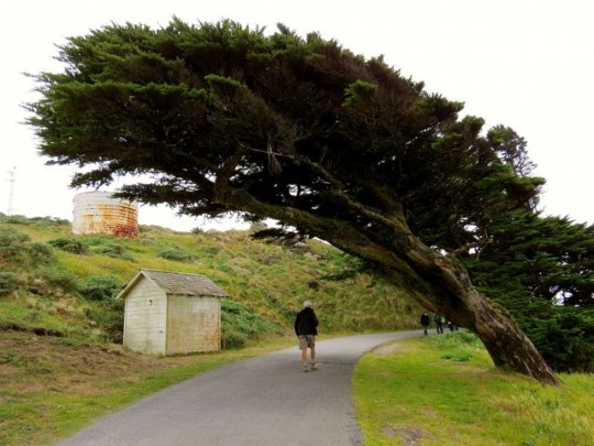 Windblown Cypress On The Lighthouse Trail