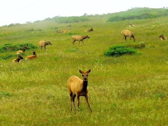 Herd Of Tule Elk