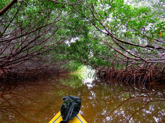 Paddling Through The Mangroves