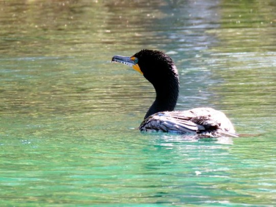 Cormorant In Turquoise Spring Waters