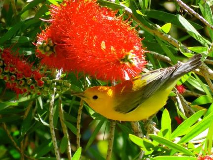 Prontonotary Warbler