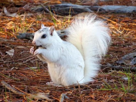 White Squirrel At Ochlockonee River SP