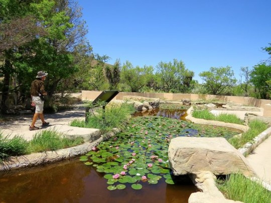 Pond Habitat In The Desert