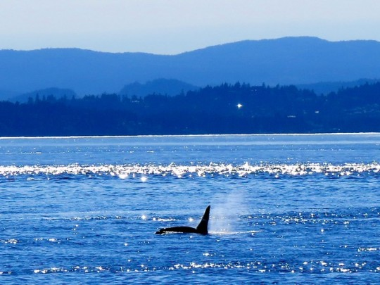 An Orca In The Distance