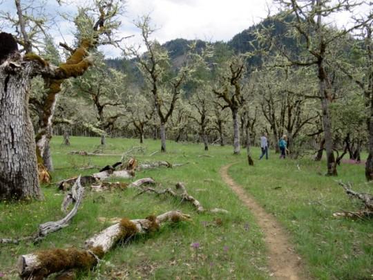 A Trail Through Ancient Oaks