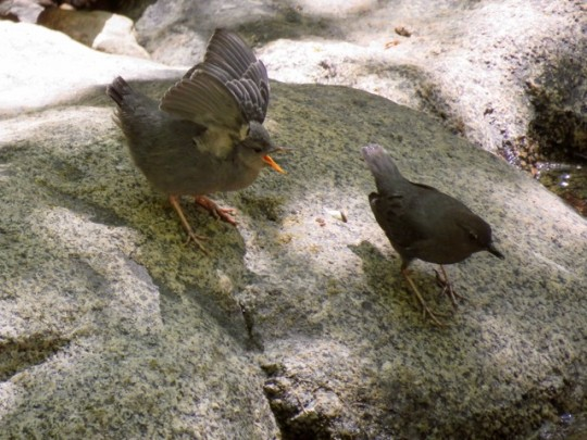 American Dipper And Chick