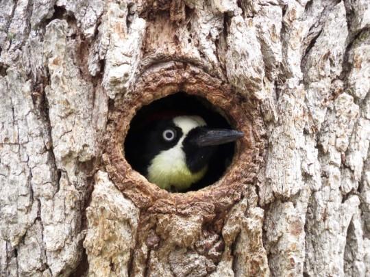 An Acorn Woodpecker, Always Fun To See