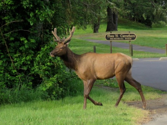 Roosevelt Elk Along The Roadside