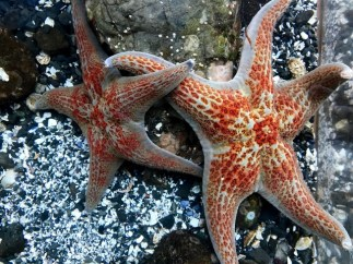 Leather sea stars feel like velvet