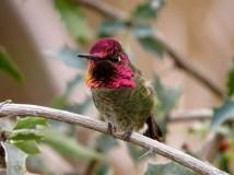Anna's Hummingbird, Tucson, Arizona
