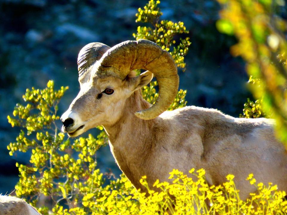 Bighorn Sheep, Anza Borrego State Park, California