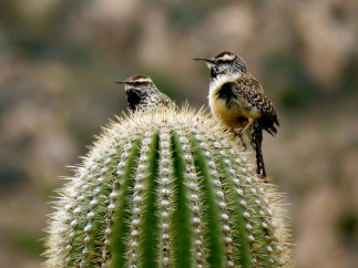 Cactus Wrens, Tucson, Arizona