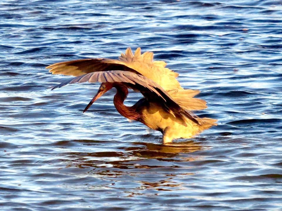 Reddish Egret Fishing, Florida