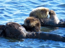 Sea Otter Family, Morro Bay, California