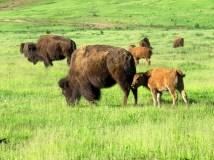 June is baby bison season