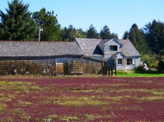 Cranberry harvest time