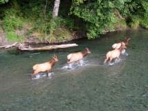 Elk crossing the Dosewallips River