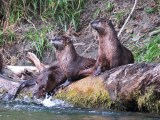 River otters fishing for salmon