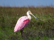 Roseate Spoonbill, Galveston, Texas
