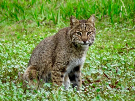 A beautiful bobcat on the trail