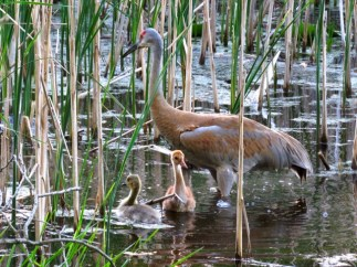 Sandhill Crane mama and an unlikely family