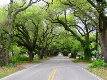 Oak canopy in Aiken