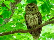 A sleepy Barred Owl