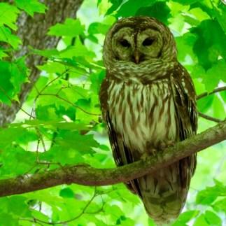 A sleepy Barred Owl