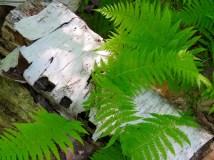 Birch bark and ferns