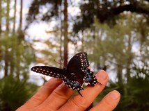 Our last black swallowtail butterfly fledged in October