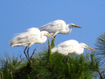 Trio of Great Egrets