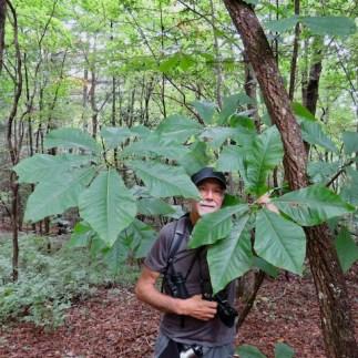 Bigleaf Magnolia, a native tree