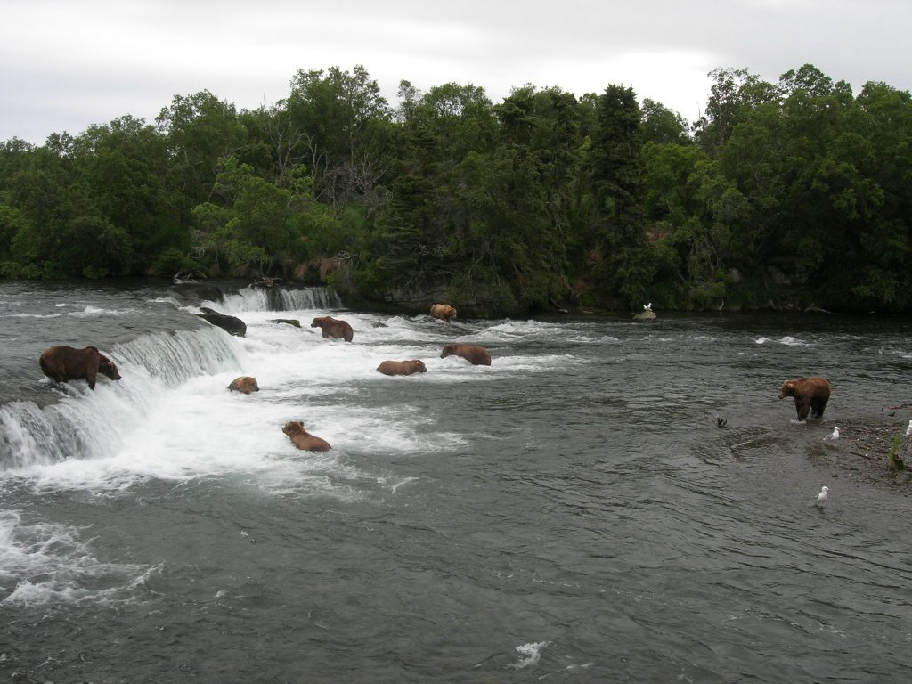 Brown bears fishing at Brook Falls in Katmai National Park and Preserve