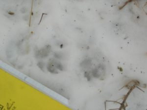 Female fisher tracks in snow with my field notebook for scale.