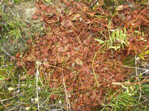 Runny soapberry (Shepherdia canadensis) scat