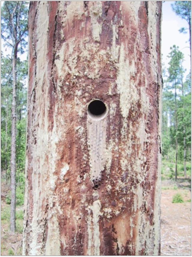 Red-cockaded Woodpecker Insert