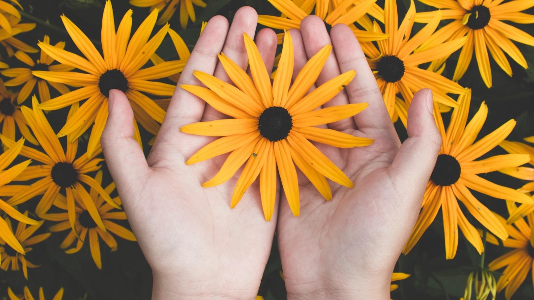 person-holding-yellow-black-eyed-susan-flowers-in-bloom-1697912