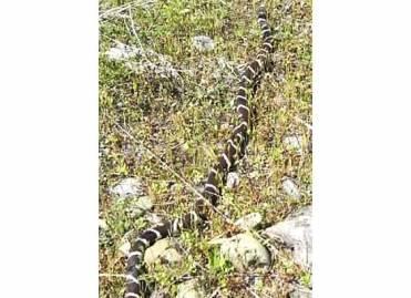 California king snake along the Merced River Trail, 2013.
