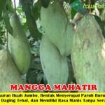 Bibit Mangga Mahatir