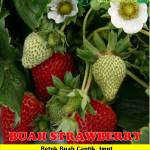 Jual Bibit Strawberry