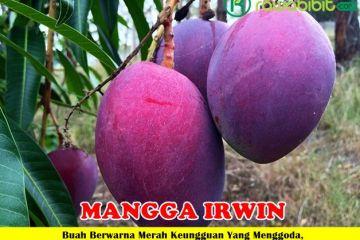 Mangga Irwin Unggul