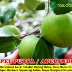 Bibit Apel Putsa / Apel India