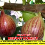 Bibit Buah Tin Brown Turkey