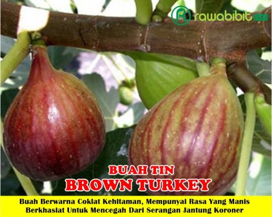 Buah Tin Brown Turkey