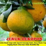 Bibit Jeruk Dekopon