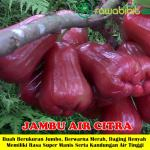 Bibit Jambu Air Citra