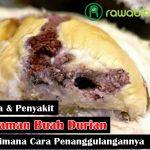 Mengenal 11 Hama Penyakit Pada Tanaman Durian Yang Paling Berbahaya dan Cara Penanggulangannya