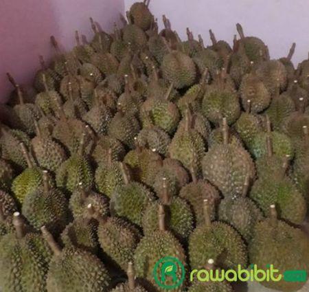 Peluang Bisnis durian bawor