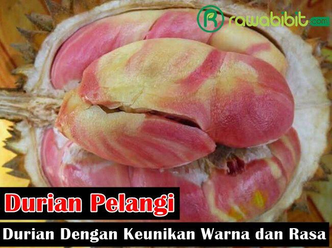Durian Pelangi, Durian Lokal Unggulan Dengan Keunikan Warna dan Rasa yang Tidak ditemukan di Jenis Durian Lainnya